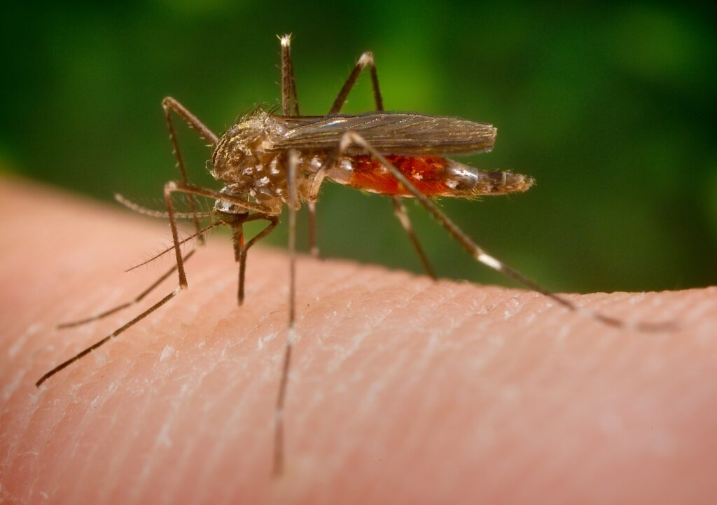 Invázny druh komára Aedes japonicus japonicus bol zaznamenaný na Slovensku